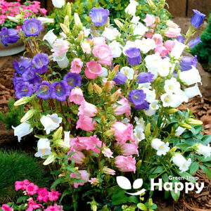 CANTERBURY BELLS MIX - 1500 seeds - Campanula medium - Biennial Flower