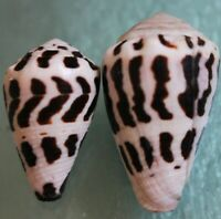 conus ebraeus set 30 37mm line  dark rare caught in SIargao April 103 2020