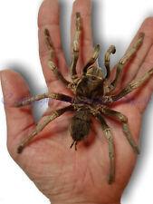 Echte sehr große Vogelspinne - Acanthoscurria ferina, Tarantula,Spinne, Präparat
