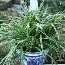 20pcs Ophiopogon Japonicus Evergreen Herbs Monkey Grass Seeds