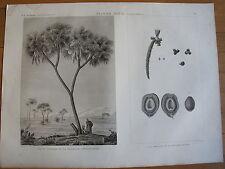 DESCRIPTION DE L'EGYPTE, 1809, PALMIER DOUM CUCIFERA THEBAICA