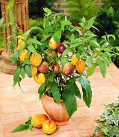 100 Pcs Seeds Mini Sweet Melon Bonsai Tree Organic Fruit Vegetable Home Garden B