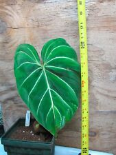 Philodendron gloriosum - Awesome - colorful variegated leaves! SMALL.