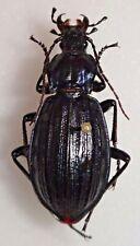 Carabidae Carabus Chrysocarabus solieri bonnetianus France #W85 Carabid Beetle