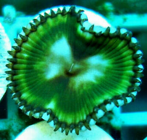 Huge Palythoa Grandis Zoa soft coral frag 1 massive  head