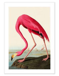 Pink Flamingo vintage bird poster safari Audubon wall art poster print