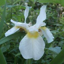 Siberian Iris ..... 30 Seeds