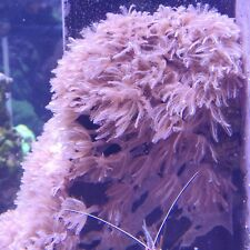 Xenia/Waving Hand Coral Frag Marine Coral - fast growing (non-pulsing)