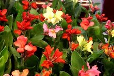 Lot 1000 seeds mix Canna Lilly Seed Flower Garden Fresh Canna Indica