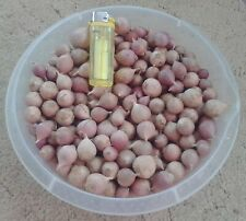 800 g Bulbs (Single Clove) Winter Garlic + free shipping - РУССКИЙ ЧЕСНОК