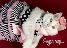 Sugar Says Fat Cat Feline Model, Inspirational Birthday Greeting Card Belle
