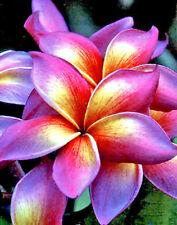 Plumeria Seeds/Flowers/Plants/ Maneerung /Fresh 100 seeds