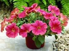 25 Pelleted Petunia Seeds Ramblin Salmon Capri Trailing Petunia
