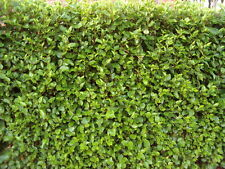 15 Griselinia Fast Growing Evergreen Hedging Plants, 2.5-3ft tall in 2L pots
