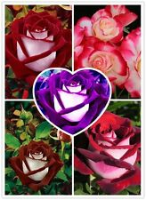 500 Mixed Seeds Rare Osiria Rose, Chinese Rose Flower, Rosa Semillas de Flores