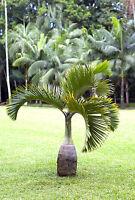Ihr schöner glatter, bauchiger Stamm ist das Markenzeichen für die Spindelpalme.