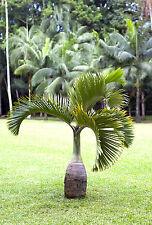 Machen sie einem Palmenfreund eine Freude und verschenken Sie die Spindepalme !