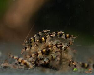 5 X Raccoon Tiger  Freshwater Live Shrimp Caridina Cantonensis Aquarium Tank