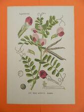 Futterwicke (Vicia sativa) Saat-Wicke THOME Lithographie um 1900