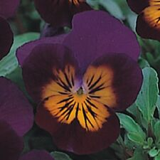 "/""Rosa Pallido/"" Adenium Obesum Desert Rose 5 semi Regno Unito Supply fresche vitale"