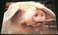 Postcard Pig - posted 1995