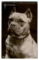 Antique RPPC postcard photograph portrait of a Bull Mastiff dog Daydreams