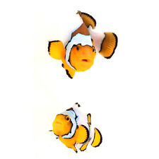 Sustainable Aquatics Snow Onyx Designer Clownfish Bonded Pair WYSIWYG