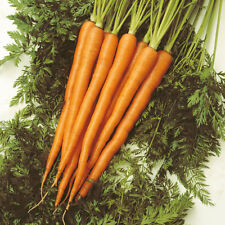CAROTA SUGARSNAX 54 F1 200 SEMI Extra Dolce Lunga Carote Prive Pungenza