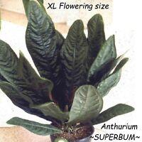 ~SUPERBUM~ XL Anthurium SPECTACULAR FLOWERING PATENT LEATHER LEAF Potted PLANT