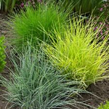 100 Fescue Grass Seeds Mixed Hardy Plant Festuca Glauca Decorative for Garden