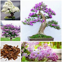 50 Pcs Seeds Lilac Bonsai Clove Flowers Tree Potted Plants Home Garden NEW 2019