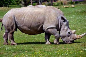 Southern White Rhino Rhinoceros Ceratotherium Simum Photograph Print