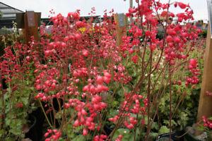 Heuchera sangiunea Bressingham Hybrids - 400 Seeds - Hardy Perennial