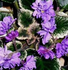 VARIEGATED AFRICAN VIOLET Saintpaulia Popular House Plant Easy! 10 Seeds