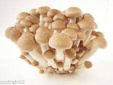Mushroom sticks Honey Agaric marble Ukrainian Seeds - 10 sticks S1063