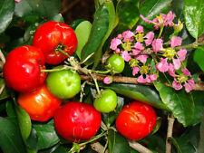 Malpighia Emarginata, BARBADOS CHERRY sweet exotic tropical fruit seed - 5 SEEDS