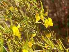 20 rare seeds Aspalathus linearis, Rooibos Red Bush Honeybush