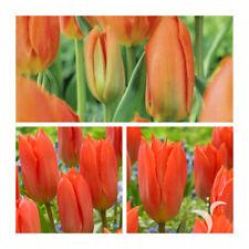 Orange Brilliant Fosteriana Tulip x 30 Bulbs.Emperor Spring Tulips