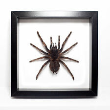 REAL Tarantula Spider Framed - Arachnid, Fangs, Peru, Curiosity, Oddity, Gothic
