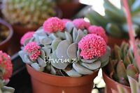 1 CUTTING CRASSULA MORGAN'S BEAUTY RARE PLANT RED PINK FLOWER SUCCULENT Cactus