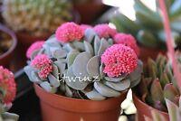 1 CUTTING CRASSULA MORGAN'S BEAUTY RARE PLANT RED PINK FLOWER SUCCULENT Cactus