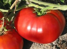 """Tomato """"Delicious"""" Guiness World Record Largest Tomato 30+ SEEDS COMBINED SHIP"""