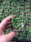 String Of Pearls Plants Succulents SOP Senecio Rowleyanus
