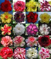 DESERT ROSE (ADENIUM OBESUM) MIXED COLORS 10 SEEDS  * exotic succulent * C83