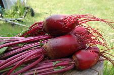 100 Samen lange Rote Beete Cylindra Beta vulgaris Rüben