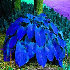 100x Hosta Plantaginea Seeds Fragrant Plantain Flower Fire Ice Shade Decor
