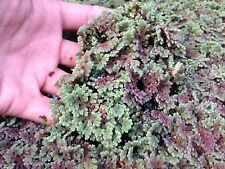 Azolla - Very Hardy And Fast Growing Aquatic Plant -- *SPECIAL BUY 3 GET 1 FREE*