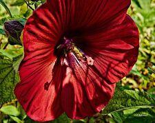 50+ Red Scarlet Hollyhock Flower Seeds  / Alcea / Perennial