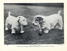 SEALYHAM TERRIER TWO DOGS AND A BALL LOVELY OLD 1934 DOG PRINT