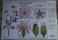 Creación Cartel escolar mantel individual Rosa mosqueta Rossignol Formato A3